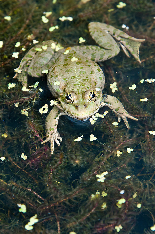 Marsh frog (Rana ridibunda). The largest of the European frogs, it was first introduced into the UK in Kent marshland habitats in 1935.