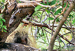 Porcupine, Denali National Park, Alaska, USA