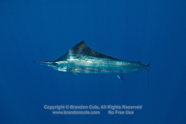 qh0514-D. Atlantic Sailfish (Istiophorus albicans). Some consider this the same species as the Indo-Pacific Sailfish (I. platypterus). Mexico, Gulf of Mexico..Photo Copyright © Brandon Cole. All rights reserved worldwide.  www.brandoncole.com..This photo is NOT free. It is NOT in the public domain. This photo is a Copyrighted Work, registered with the US Copyright Office. .Rights to reproduction of photograph granted only upon payment in full of agreed upon licensing fee. Any use of this photo prior to such payment is an infringement of copyright and punishable by fines up to  $150,000 USD...Brandon Cole.MARINE PHOTOGRAPHY.http://www.brandoncole.com.email: brandoncole@msn.com.4917 N. Boeing Rd..Spokane Valley, WA  99206  USA.tel: 509-535-3489