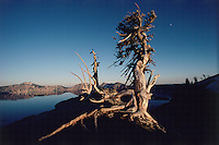 Crater Lake National Park, Oregon, tree