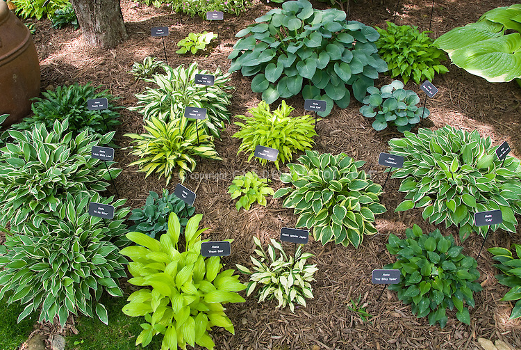 Mixed hostas collection garden – Garden Plant Signs
