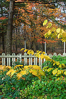 Hosta and Hamamelis Pallida witchhazel shrub  in autumn fall foliage color with picket fence, Helleborus, trees