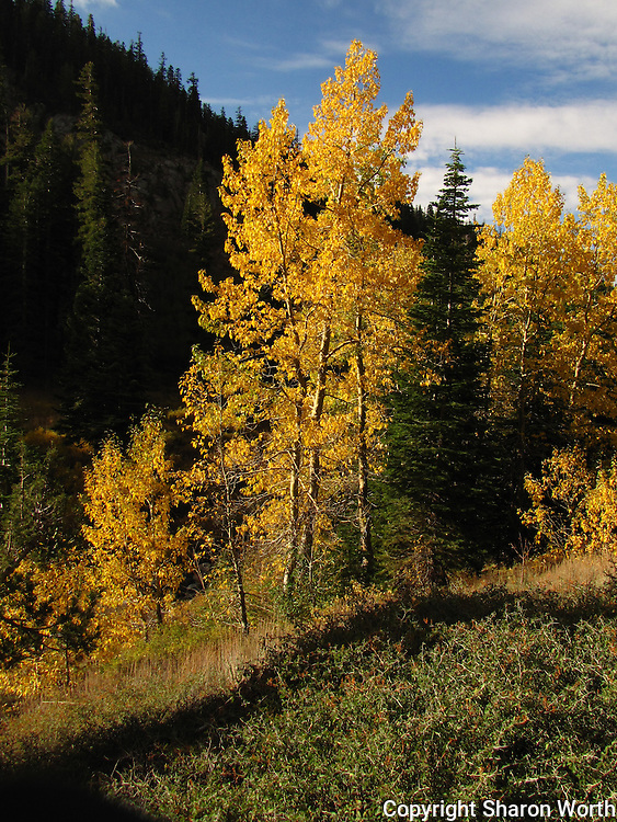 A mix of golden aspen and green conifers in the Stanislaus National Forest.