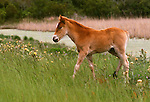 Chincoteague pony, Assateague National Wildlife Refuge, Virginia