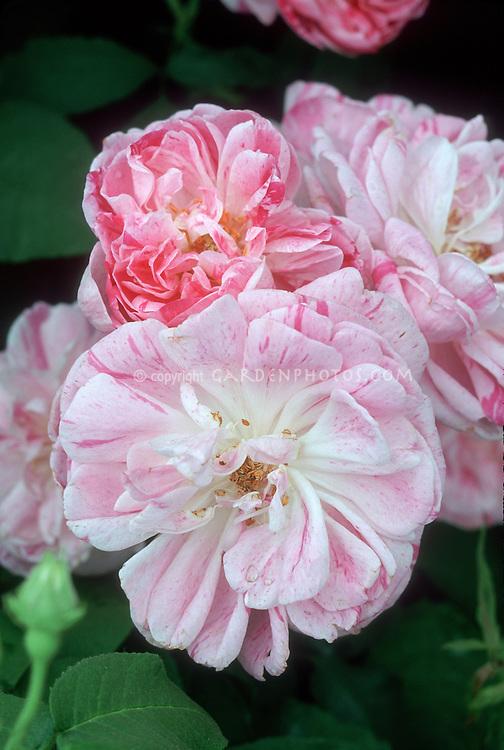 Rosa 'Honorine de Brabant' Bourbon Rose, heirloom antique old roses, pink with mottled markings