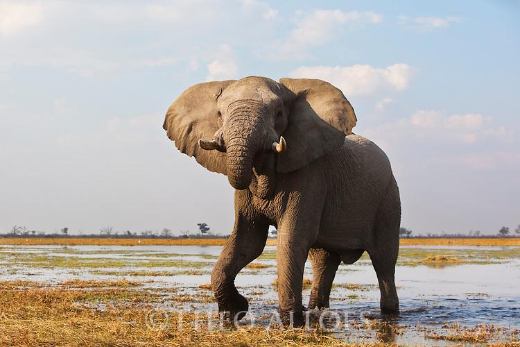 Botswana, Chobe National Park, Savuti,  African elephant (Loxodonta africana) mock charging in Savuti Marsh