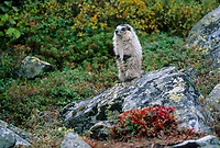 Hoary Marmot sits on a rock, Denali National Park, Alaska