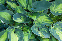Hosta 'June' yellow green variegated leaf foliage, shade garden perennial plant