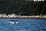 North America, USA, Alaska.  Humpback Whale in the Gastineau Channel.
