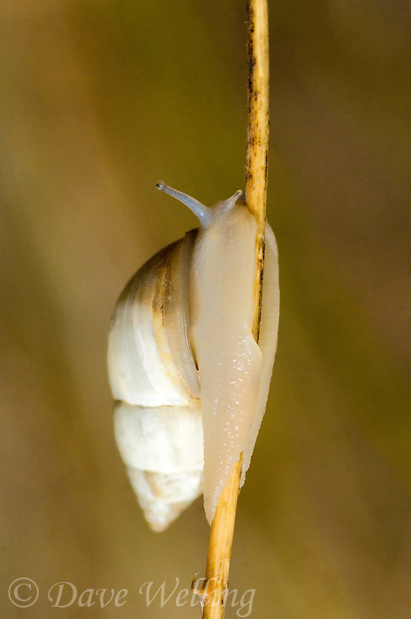 389760011 a wild rabdotus genus of land snail on a small twig in the rio grande valley texas