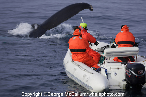 Humpback whales Megaptera novaeangliae Researchers in zodiac taking photographic ID and Biopsy. Kvitøya, Arctic ocean
