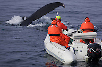 Humpback whales Megaptera novaeangliae Researchers in zodiac taking photographic ID and Biopsy. Kvitøya, Arctic ocean