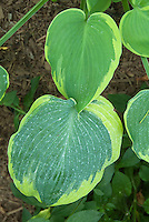 Hosta Earth Angel, 2009 hosta of the year