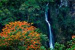 Costa Rica, Orosi Valley, Salto de la Novia (Leap of the Bride) Cascades, Orange Flowering Poro Tree