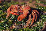 Red crab feeds on lost eggs of other crabs.Gecarcoidea natalis