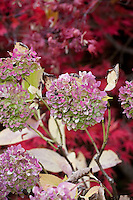 Mophead Hydrangea macrophylla flower in autumn (fall) color in California garden, Filoli