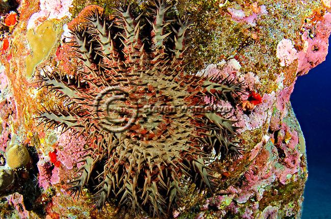Of thorns starfish acanthaster planci linnaeus 1758 kona hawaii