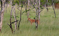 Kakadu Wildlife. Dingo is a domestic dog which has reverted to a wild state for thousands of years and today lives largely independent from humans. <br /> <br /> The word most likely derived from the word &quot;tingo&quot; a term used by the aboriginal people to describe their camp dogs. Today they are shy towards humans.<br /> They hunt small mammals and are also known to scavenge on cattle and kangaroo carcasses, dead fish, peguins and washed up sea birds on the coast.