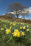 Wild daffodils, Narcissus pseudonarcissus, St Anthony's churchyard, Cartmel Fell, the Lake District, Cumbria, UK