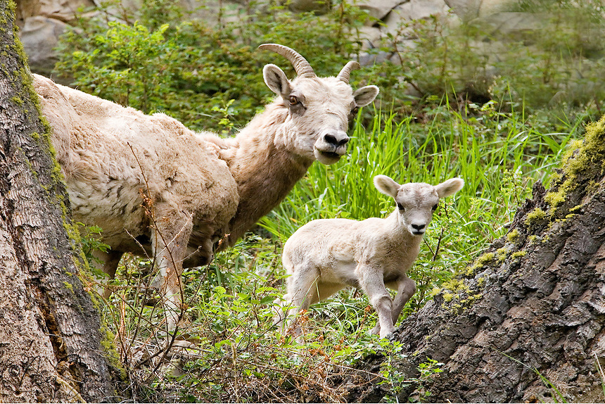 Big horn (Ovis canadensis) lambs are born in the spring, usually out on a stark and steep ledge to protect both ewe and lamb from predators. In Yellowstone, these young lambs can often be seen in the Calcite cliffs or Mt Washburn areas in late May.