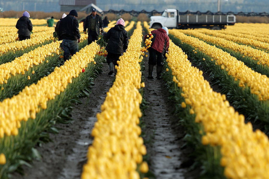 Workers working in rows of yellow tulips, Mount Vernon, Skagit Valley, Skagit County, Washington, USA
