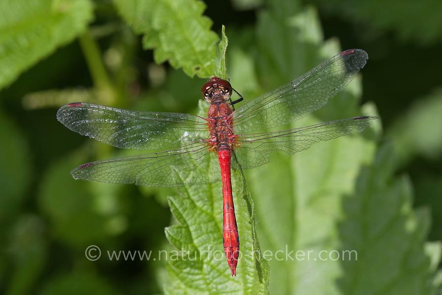 Blutrote Heidelibelle, Männchen, Sympetrum sanguineum, ruddy sympetrum, Ruddy Darter, male