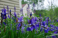 Purple Siberian irises blooming with lupine in front garden, Yarmouth ME