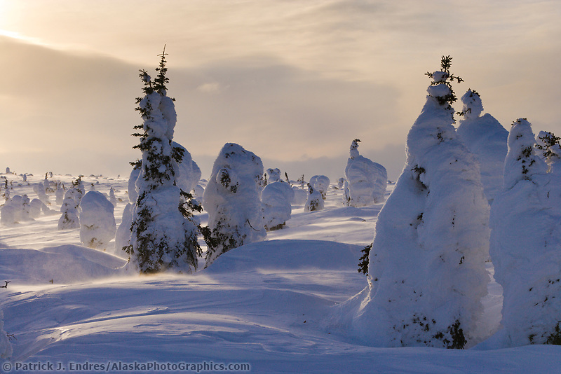 Spruce trees under snow load after a full winter, severe, blowing snow and moisture pack heavy loads of snow in this sparse taiga environment. Interior, Alaska.