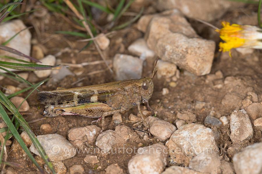 Braune Strandschrecke, Aiolopus strepens, Grasshopper, l'Oedipode automnale; Le Criquet farouche