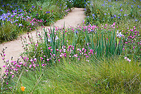 Wildflowers Sidalcea malviflora (checkerbloom) and iris in spring Meadow garden with red Fescue, Festuca rubra grass, Menzies California native plant garden