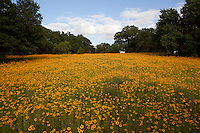 Meadow full of blooming Coreopsis with Texas Live Oak Trees