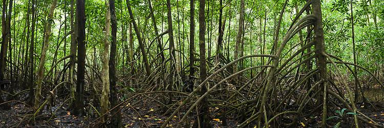 Mangrove forest.  Daintree National Park, Queensland, Australia