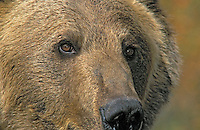 Grizzly Bear (Ursus arctos). Rocky Mountains.