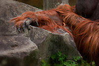 Hairy arm of a Sumatran Orangutan male (Pongo abelii)