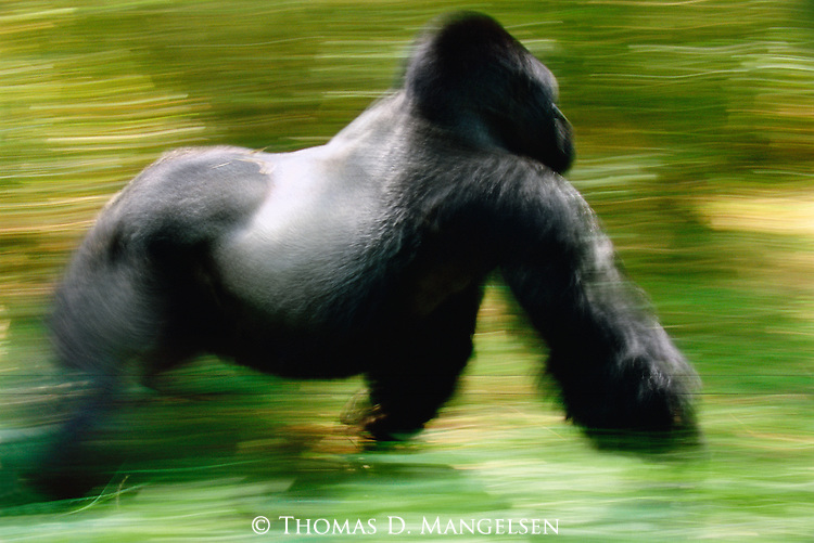 A silverback mountain gorilla charges through the forest in the Virunga Mountains at Volcanoes National Park, Rwanda.