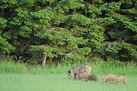 Wild boar, Sus scrofa, Morko, Sormland, Sweden