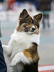 Icelandic Sheepdog<br />