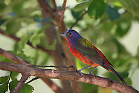 Painted Bunting male in the cool shade of a myrtle tree, with reflected light from the water below. Mid-July in Central Texas..