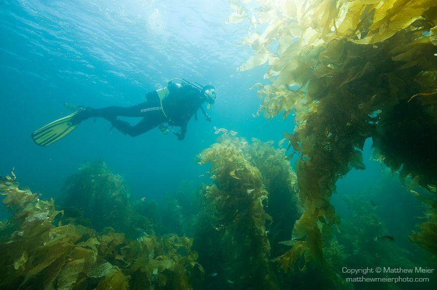 Catalina Island, Channel Islands, California; arch of Giant Kelp (Macrocystis pyrifera) in the kelp forest off Catalina Island with scuba diver , Copyright © Matthew Meier, matthewmeierphoto.com All Rights Reserved