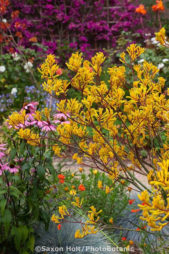 Yellow flower perennial with maroon red stems, Kangaroo Paw - Anigozanthos 'Harmony' in drought tolerant California garden