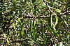 Carob tree (bot.: Ceratonia siliqua) with carob pods (St John's Bread)<br /> <br /> algarrobo con algarroba<br /> <br /> Johannisbrotbaum mit Johannisbrotfr&uuml;chten<br /> <br /> 3008 x 2000 px<br /> 150 dpi: 50,94 x 33,87 cm<br /> 300 dpi: 25,47 x 16,93 cm