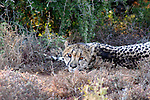 Africa, South Africa, Kwandwe. Sleepy Cheetah