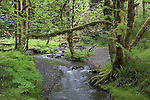 Elk Creek in the Staircase area of Olympic National Park, WA.  Trees are red alder, big-leaf maple and vine maple.