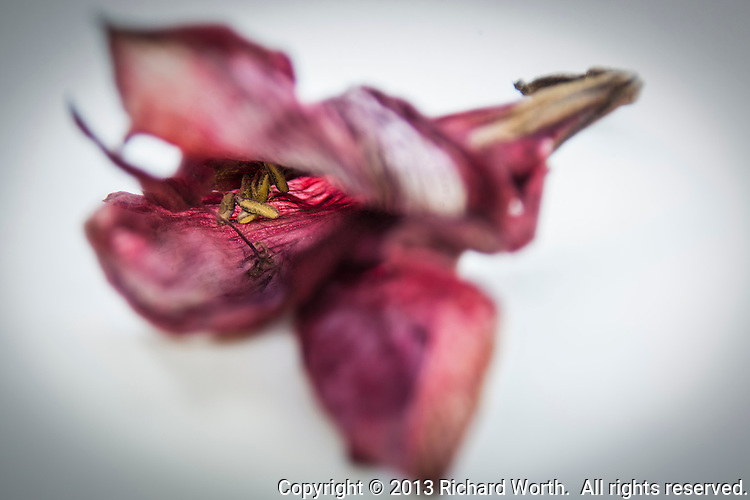 An amaryllis bloom captured twice, once in sharp focus and once soft, then blended into a single image of a blossom past it's prime, but lovely, still.