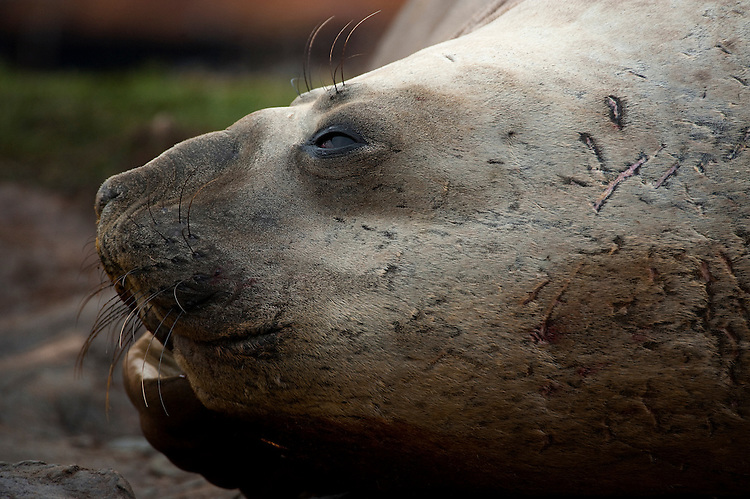 Southern elephant seal (Mirounga leonina), Grytviken, South Georgia. Side profile facial view