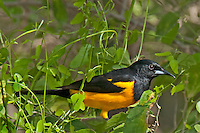 561860005 a rare texas songbird visitor a black-vented oriole icterus weglari perches on a tree limb at bentsen state park hidalgo county texas united states