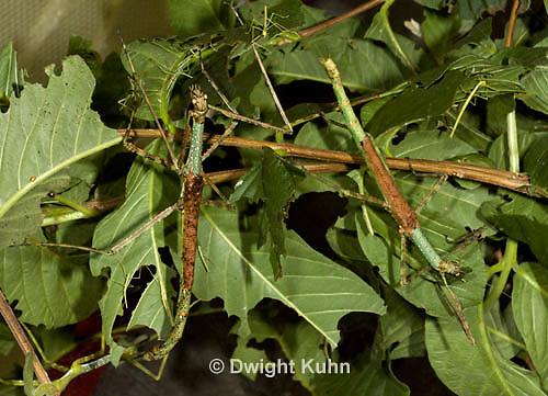 OR07-520z  Walking Stick Insect females, camouflaged on tree,  Acrophylla wuelfingi