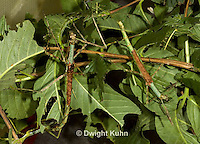 OR07-520z  Walking Stick Insect females, camouflaged on tree,  Acrophylla wuelfingi