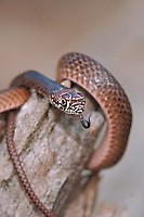 414130005 a wild juvenile eastern coachwhip masticophis flagellum coils on a fallen tree near boykin springs jasper county texas united states