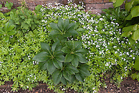 Helleborus, Tiarella, and Galium odoratum in bloom in shade